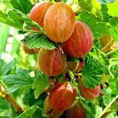 Саженцы крыжовника Сварог, оранжевый среднеспелый (Професійне насіння)