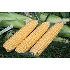 СВИТ ИМИДЖ F1 / SWEET IMIGE F1 — Кукуруза Сахарная, Agri Saaten