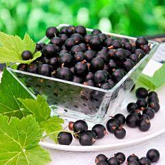 Саженцы смородины Тисел, черная раннеспелая (Професійне насіння)