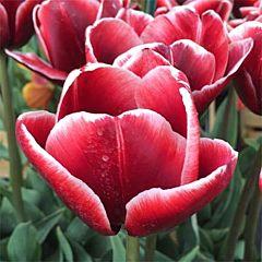 Тюльпан Armani,  Florium