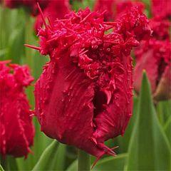 Тюльпан Barbados,  Florium