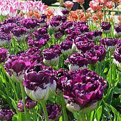 Тюльпан Blue Wow,  Florium