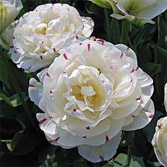 Тюльпан Danceline,  Florium