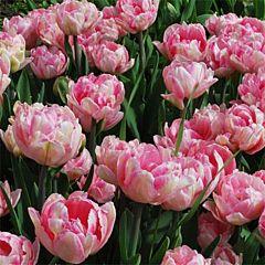 Тюльпан Foxtrot,  Florium