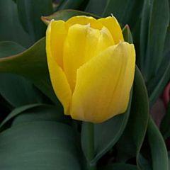 Тюльпан Golden Emperor,  Florium