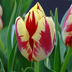 Тюльпан Grand Perfection,  Florium