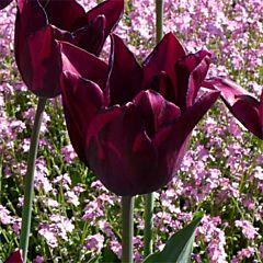 Тюльпан Havran,  Florium