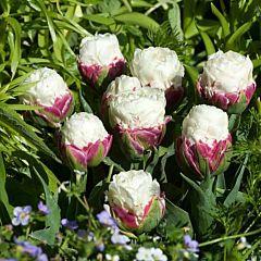 Тюльпан Ice Cream,  Florium