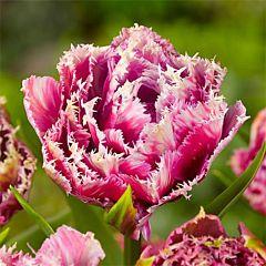 Тюльпан Mascotte,  Florium