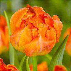 Тюльпан Monte Orange,  Florium