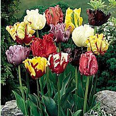 Тюльпан Parrot Микс,  Florium