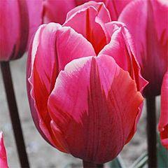 Тюльпан Pretty Princess,  Florium