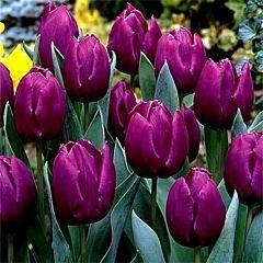 Тюльпан Purple Prince,  Florium