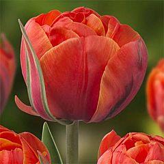 Тюльпан Queensday,  Florium