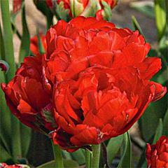 Тюльпан Redwood,  Florium