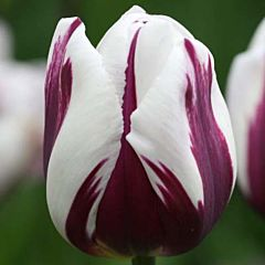 Тюльпан Rems Favourite,  Florium