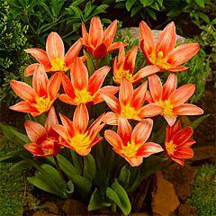 Тюльпан Shakespeare,  Florium