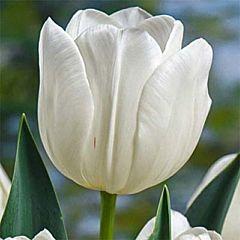 Тюльпан Silver Dollar,  Florium