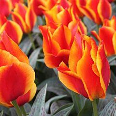 Тюльпан United States,  Florium