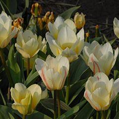 Тюльпан White Fire,  Florium