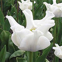 Тюльпан White Liberstar,  Florium