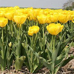 Тюльпан Yellow Angel,  Florium