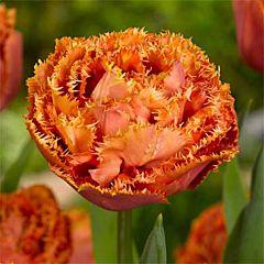 Тюльпан Sensual Touch,  Florium