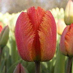 Тюльпан Fringed Solstice,  Florium