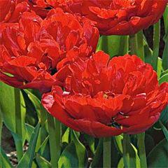 Тюльпан Miranda,  Florium