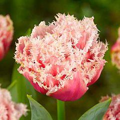 Тюльпан Queensland,  Florium