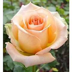 Саженцы роз чайно-гибридная Versilia (Версилия)
