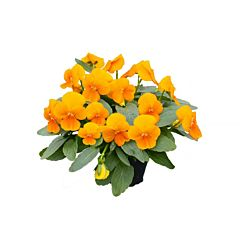 Фиалка рогатая Perfetto Deep Orange F1, Sakata