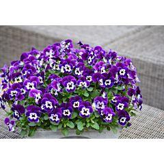 Фиалка рогатая Perfetto Purple Face F1, Sakata