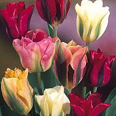Тюльпаны Зеленоцветные Микс,  Florium