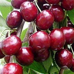 Саженцы вишни Лутовка
