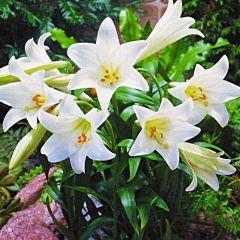 Лилия White Present, 2 луковицы, Florium