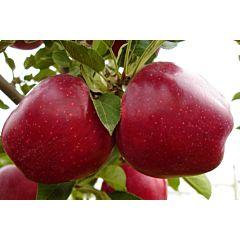 Саженцы яблони Джеромин