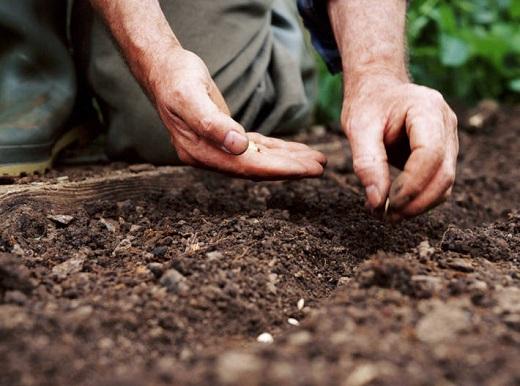 Когда сажать огурцы семенами в открытый грунт
