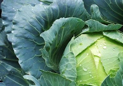 Белокочанная капуста - технология выращивания