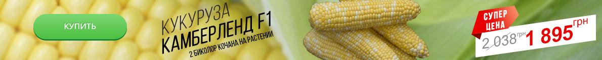 кукуруза камберленд